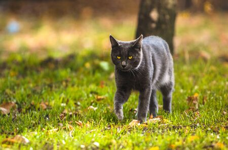 Funny gray cat goes to the camera on the autumn-summer bright background Foto de archivo