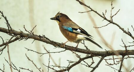 Jay sits on a branch against a bright background in cold winter weather, photo in the form of a banner Stock fotó