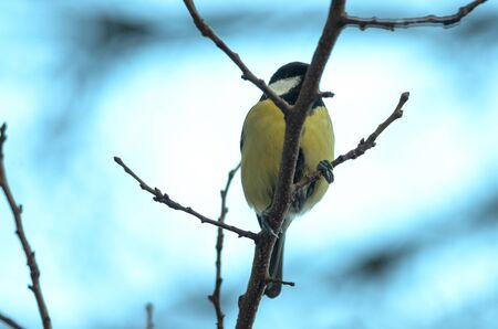 Titmouse sits on a winter branch in cold weather, photo in the form of a banner