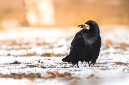 A series of long-focus photos of wild rooks that hunt and get their own food, after which they eat it on branches in the forest and near the city. Photos taken in Kharkov, Ukraine. Beautiful backgrounds and photos are suitable for wallpapers or screensavers.