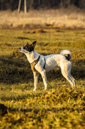 Basenji dog on a hill, full length photo while walking
