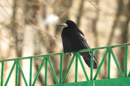 A series of photographs in snowy weather in winter of a variety of birds, but mostly sparrows and rooks. Photos taken in Kharkov, Ukraine, on a telephoto lens, birds are sitting on branches.