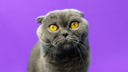 A series of photographs of portraits of a domestic and purebred Scottish fold cat in the studio on bright beautiful and rich fabric backgrounds. Cat emotions Foto de archivo - 140648542