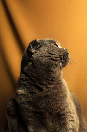 A series of photographs of portraits of a domestic and purebred Scottish fold cat in the studio on bright beautiful and rich fabric backgrounds. Cat emotions Foto de archivo - 140648635