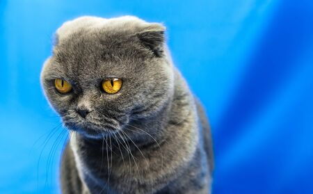 A series of photographs of portraits of a domestic and purebred Scottish fold cat in the studio on bright beautiful and rich fabric backgrounds. Cat emotions Foto de archivo - 140649012