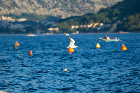 Seagull birds gathered for feeding in the mountain town of Perast in Montenegro Stockfoto