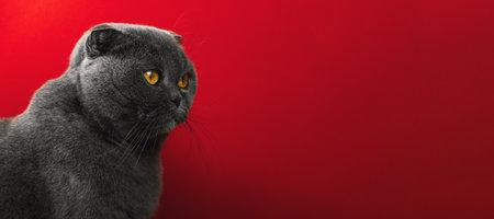 Studio photo of scottish fold cat, portrait of adorable animal, orange eyes, red isolated background, copy space, banner photo Stock Photo