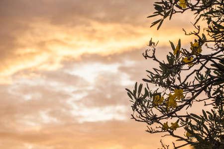 Golden trumpet, Allamanda Flowers with sky, sunset  back ground