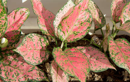 Really feel relax with the color and texture on the leaves with ruby shade ,Aglaonema ,Aglaonema modestum
