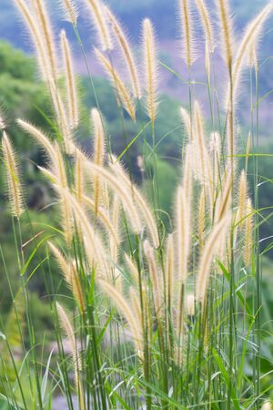Grass flowers in the field. Stock Photo