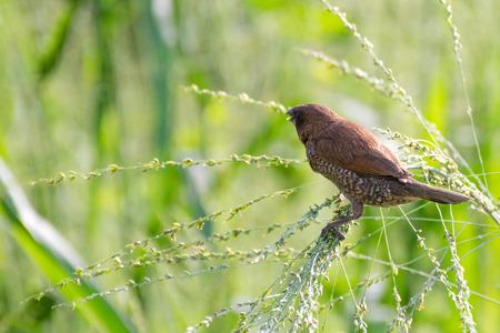 weaver bird: A weaver bird in the field Stock Photo