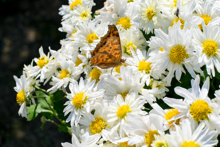 curtis: A brown butterfly on white Chrysanthemum flowers