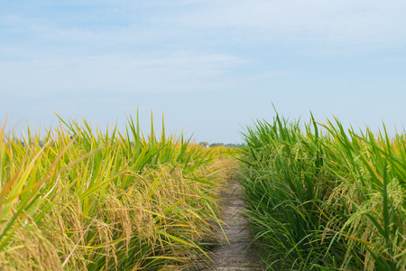 Gouden rijstveld met blauwe hemel Stockfoto