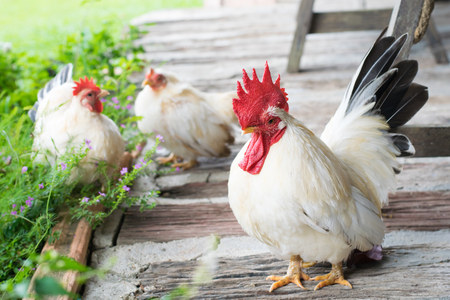Witte kippen in de tuin