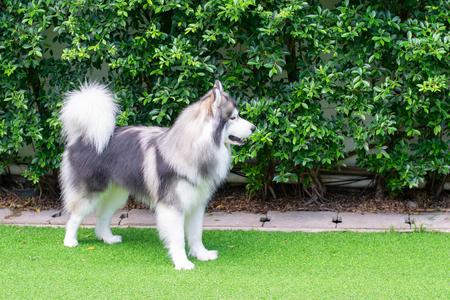 Cute Siberian Husky dog standing on the green grass in the garden