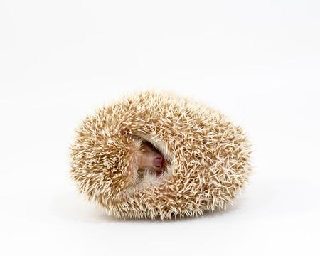 Hedgehog on isolated white background