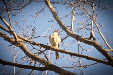 sparrowhawk: Sparrowhawk perched in tree looking for prey Stock Photo