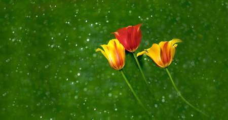 contend: tulips Stock Photo