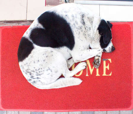 White and black dog with heart on the back laying on red carpet with word wellcome. Home. Stock fotó