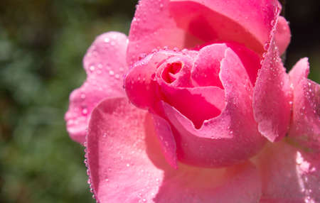 Pink rose macro bud with drops of water on petals Фото со стока