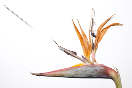 occur: Bird of Paradise plant