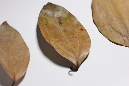 blight: Plant leaves