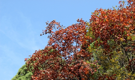 gules: Autumn leaves under the clear blue sky