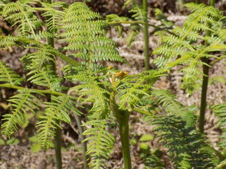 helechos: helechos forestales en espa�ol Foto de archivo