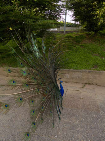spreading: Peacock spreading feathers on a park