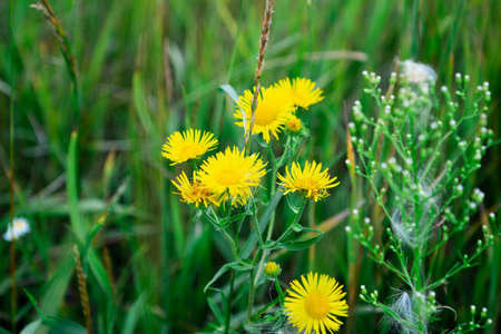 Yellow dandelions in the open air in a green field, on a bright summer Sunny day close-up.