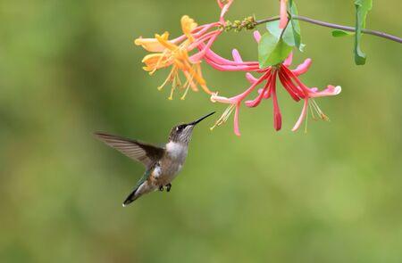 ルビー throated ハチドリとスイカズラの花です。
