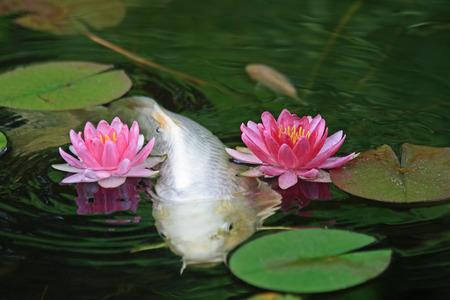 Koi fish swimming among pond lilies. Stock Photo - 1598406