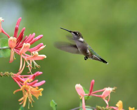 Hummingbird feeding on pink honeysuckle flowers.