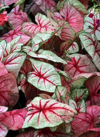 Bold red and white caladium leaves.