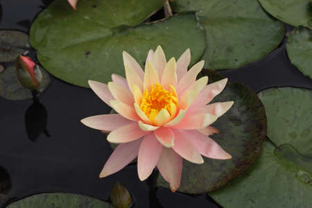 Water lily and lily pads. Imagens