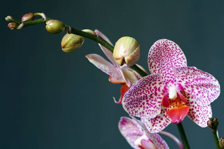 Orchid phalaenopsis in bud and bloom. Stock Photo