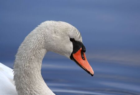 Close up photo of a mute swan on a clear blue lake. Stock Photo