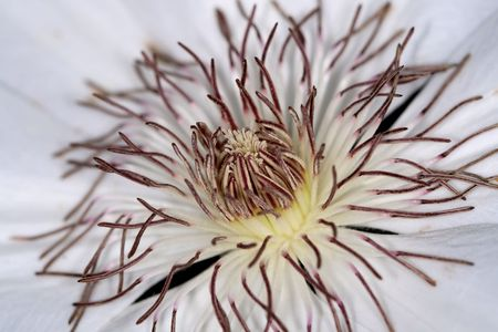 Macro photo of the center of a white clematis flower. Imagens - 1788273