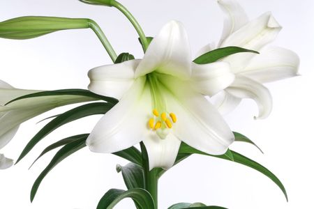 Easter lily in bud and bloom, isolated over white.