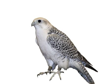 Tundra peregrine falcon, isolated over white. Reklamní fotografie
