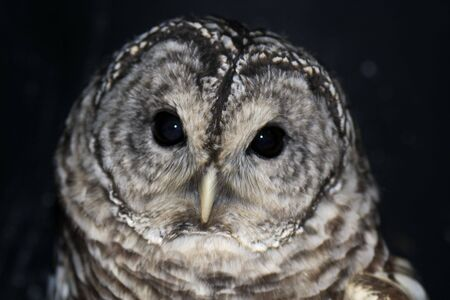 Portrait of a cute barred owl. Imagens - 2441768