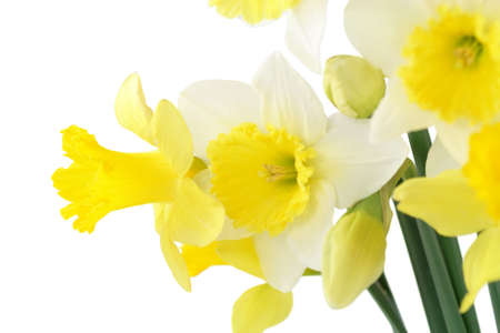 Daffodil bouquet, isolated over white.
