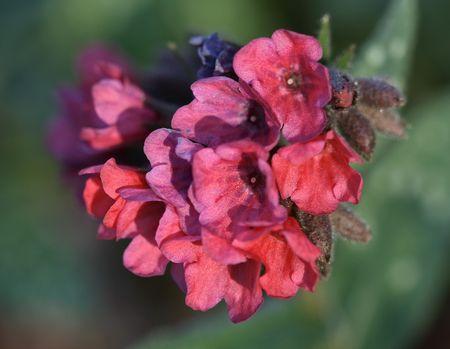 Lungwort Flowers Macro Imagens