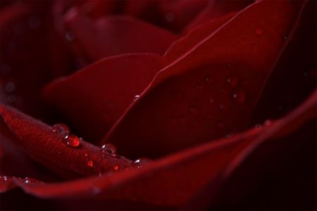 Macro of raindrops on red rose petal with main focus on the raindrops. Stock Photo