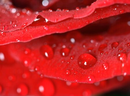 Macro of dew drops on rose petals. Imagens - 3015975
