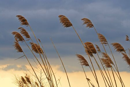 Cattails blowing in the wind against a moody sky. Stock Photo