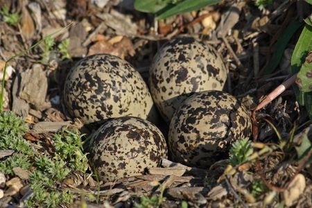 Killdeer eggs in the nest, just hours before hatching.