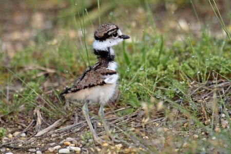 killdeer, just 24 hours old. Stock Photo