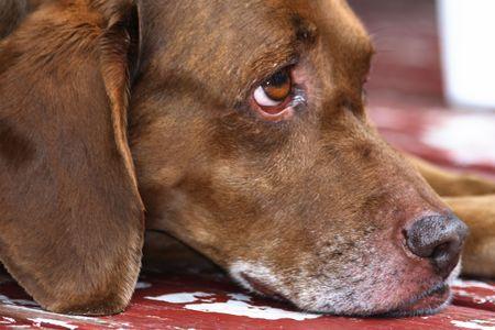 Portrait of a sad eyed vizsla dog.