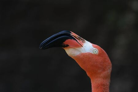 Brightly colored flamingo with a black background.